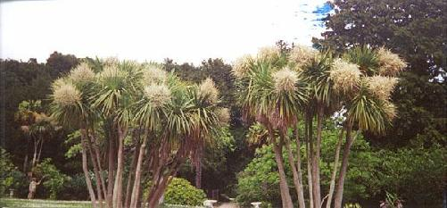 Cordylines in Bloom