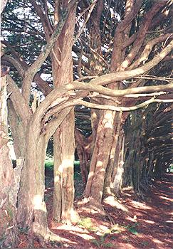 Yew Walk detail